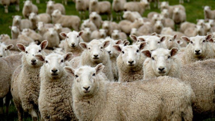 schafe-herde